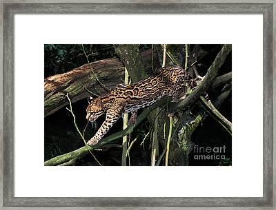 Ocelot Leopardus Pardalis Framed Print by Gerard Lacz