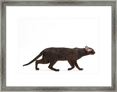 Oriental Cat Framed Print by Jean-Michel Labat