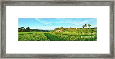 Paddy Rice Panorama Framed Print by MotHaiBaPhoto Prints