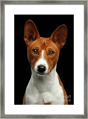 Pedigree White With Red Basenji Dog On Isolated Black Background Framed Print