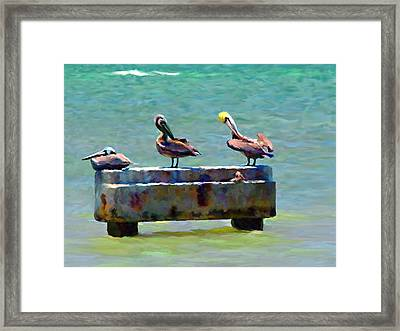 3 Pelicans Framed Print by David  Van Hulst