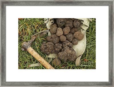 Perigord Truffle Tuber Melanosporum Framed Print by Gerard Lacz