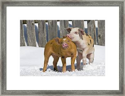 Piglets Playing In Snow Framed Print by Jean-Louis Klein & Marie-Luce Hubert