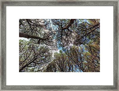 Pinewood Forest, Cecina, Tuscany, Italy Framed Print