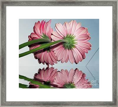 Pink Gerbers Framed Print