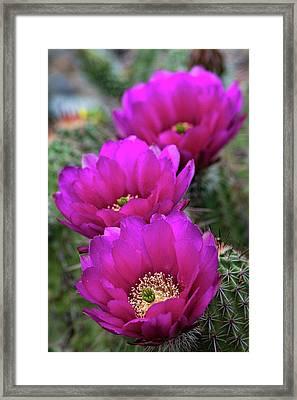 Framed Print featuring the photograph Pink Hedgehog Cactus  by Saija Lehtonen