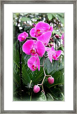 Pink Orchids Framed Print by Mindy Newman