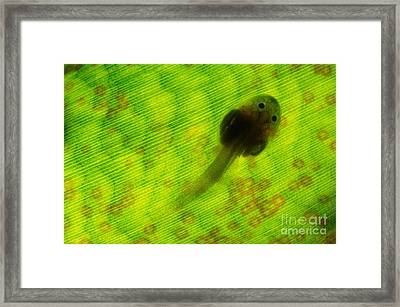 Poison Dart Frog Tadpole In Bromeliad Framed Print by Francesco Tomasinelli