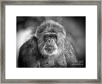 Portrait Of An Elderly Chimp Framed Print
