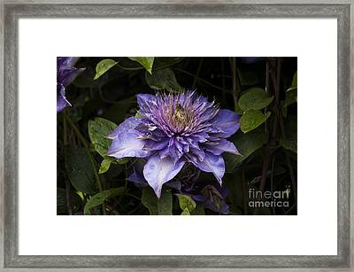Purple Clematis Framed Print by Mandy Judson