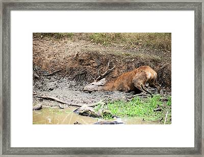 Red Deer Stag Cervus Elaphus Takes A Mudbath To Cool Down On Aut Framed Print by Matthew Gibson