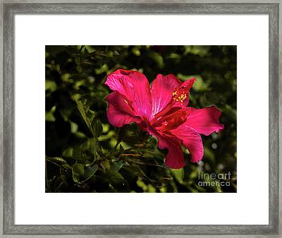 Red Hibiscus Framed Print by Robert Bales