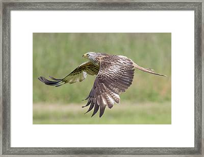 Red Kite Framed Print by Ian Hufton