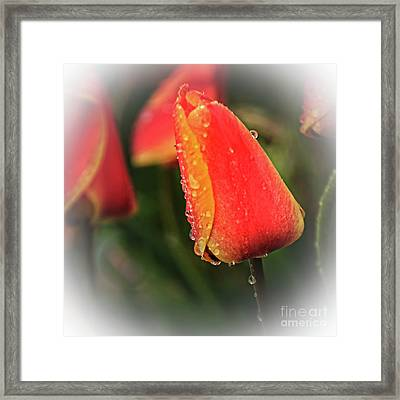 Framed Print featuring the photograph Red Tulip  by Robert Bales