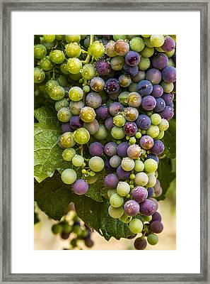 Red Wine Grapes Hanging On The Vine Framed Print