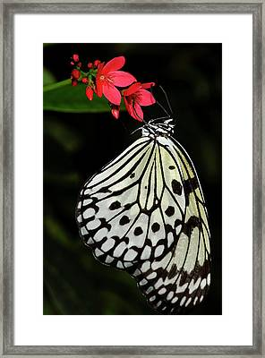 Rice Paper Butterfly Framed Print by JT Lewis