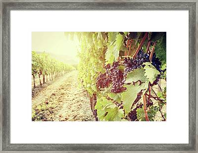 Ripe Wine Grapes On Vines In Tuscany Vineyard, Italy Framed Print by Michal Bednarek