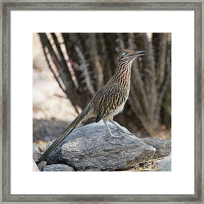 Framed Print featuring the photograph Roadrunner by Dan McManus