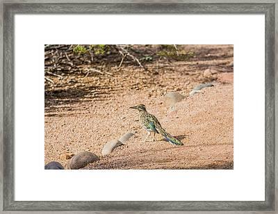 Roadrunner Framed Print by Tam Ryan