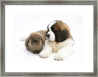 Saint Bernard Puppy With Rabbit Framed Print