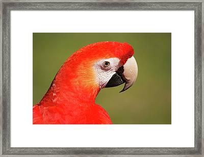 Scarlet Macaw Framed Print by Uwe Gernhoefer