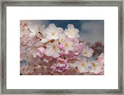 Silicon Valley Cherry Blossoms Framed Print