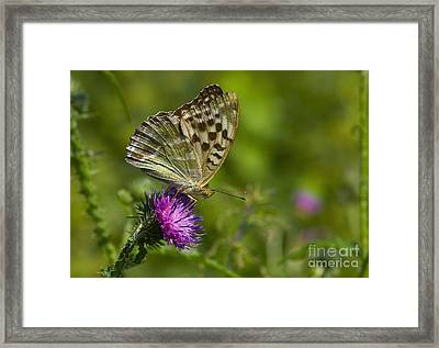 Silver-washed Fritillary Framed Print by Steen Drozd Lund