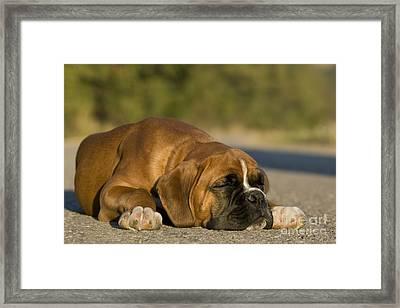 Sleepy Boxer Puppy Framed Print