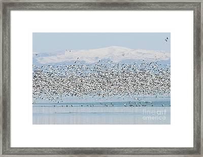 Snow Geese  Framed Print by Dennis Hammer