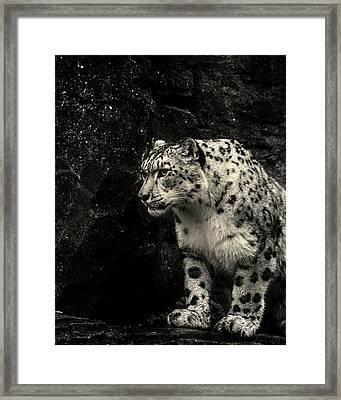 Snow Leopard Framed Print by Martin Newman
