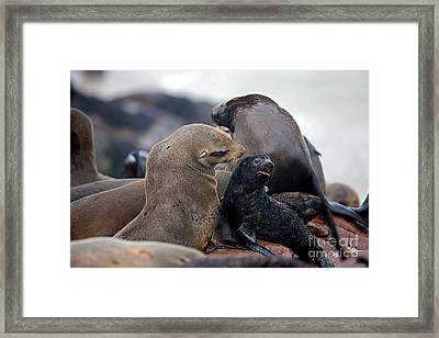 South African Fur Seal Arctocephalus Framed Print by Gerard Lacz