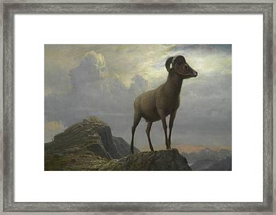 Study Of A Bighorn Ram Framed Print by Albert Bierstadt