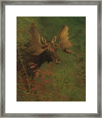 Study Of A Moose Framed Print