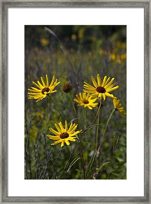 3 Sunflowers 8152 Framed Print