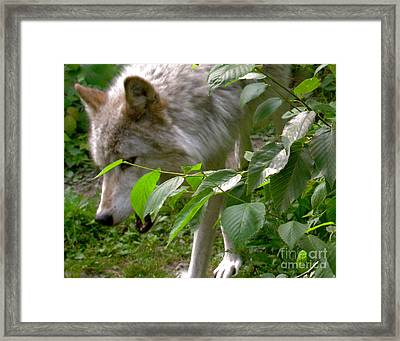 Framed Print featuring the photograph The Wild Wolve Group B by Debra     Vatalaro
