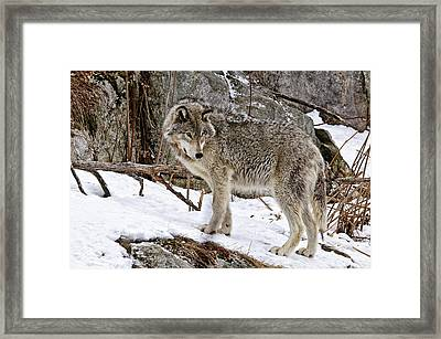 Timber Wolf In Winter Framed Print by Michael Cummings