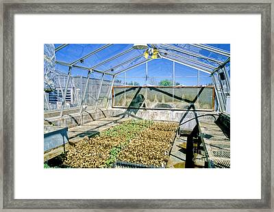 Transgenic Cotton Plants Framed Print by Inga Spence