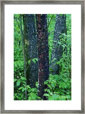 3 Trees Framed Print by Joanne Smoley