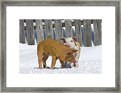 Two Piglets Playing Framed Print by Jean-Louis Klein & Marie-Luce Hubert