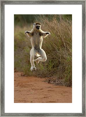 Verreauxs Sifaka Propithecus Verreauxi Framed Print by Pete Oxford