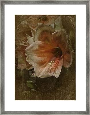 Vintage Amaryllis Framed Print by Richard Cummings