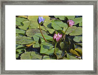Water Lilies Framed Print by Linda Geiger