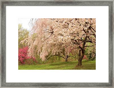 Weeping Cherry Framed Print by Jessica Jenney