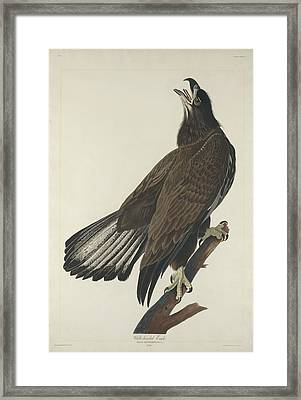 White Headed Eagle Framed Print by Rob Dreyer