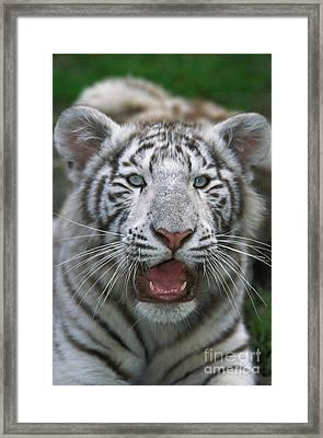White Tiger Panthera Tigris Framed Print by Gerard Lacz