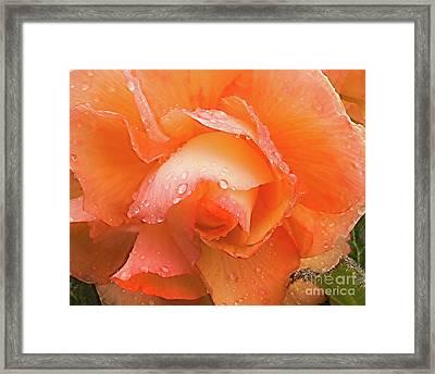 Yellow Begonia Framed Print
