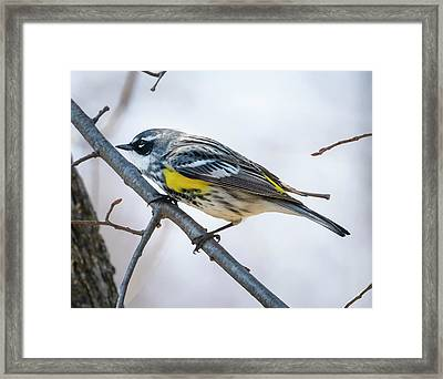 Framed Print featuring the photograph Yellow-rumped Warbler  by Ricky L Jones