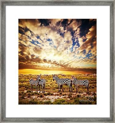 Zebras Herd On African Savanna At Sunset. Framed Print