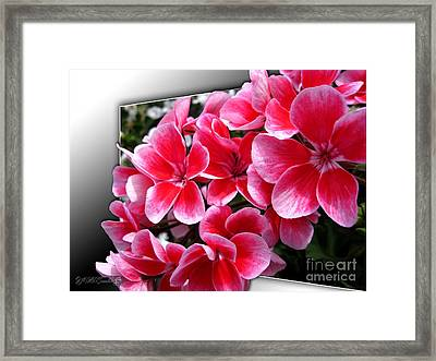 Zonal Geranium Named Candy Fantasy Kiss Framed Print by J McCombie
