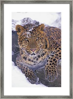 30792d, Amur Leopard, Winter Framed Print by First Light